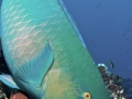 Parrotfish-Humboldt-Explorer-Galapagos-Explorer-Ventures-Liveaboard-Diving