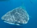 Whaleshark-top-Humboldt-Explorer-Galapagos-Explorer-Ventures-Liveaboard-Diving