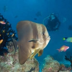 Batfish-Diver-Carpe-Vita-Explorer-Maldives-Explorer-Ventures-Liveaboard-Diving