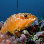 Black-Tip-Grouper-Carpe-Vita-Explorer-Maldives-Explorer-Ventures-Liveaboard-Diving