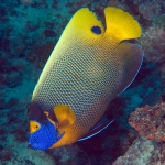 Blueface-Angelfish-Carpe-Vita-Explorer-Maldives-Explorer-Ventures-Liveaboard-Diving
