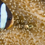 Clarks-Anenome-Fish-Carpe-Vita-Explorer-Maldives-Explorer-Ventures-Liveaboard-Diving