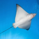 Eagle-Ray-Underside-Carpe-Vita-Explorer-Maldives-Explorer-Ventures-Liveaboard-Diving