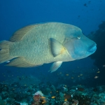 Humphead-Wrasse-Carpe-Vita-Explorer-Maldives-Explorer-Ventures-Liveaboard-Diving
