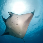 Manta-Ray-Underside-Sunlight-Carpe-Vita-Explorer-Maldives-Explorer-Ventures-Liveaboard-Diving