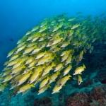 Ribbon-Sweetlips-School-Carpe-Vita-Explorer-Maldives-Explorer-Ventures-Liveaboard-Diving