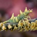 Shrimp-Carpe-Vita-Explorer-Maldives-Explorer-Ventures-Liveaboard-Diving