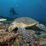 Turtle-Eating-Carpe-Vita-Explorer-Maldives-Explorer-Ventures-Liveaboard-Diving