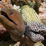 Two-Moray-Eels-Carpe-Vita-Explorer-Maldives-Explorer-Ventures-Liveaboard-Diving