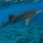 Whaleshark-Carpe-Vita-Explorer-Maldives-Explorer-Ventures-Liveaboard-Diving