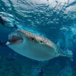 Whaleshark-feeding-Divers-Carpe-Vita-Explorer-Maldives-Explorer-Ventures-Liveaboard-Diving