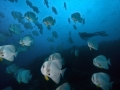 Batfish-Carpe-Vita-Explorer-Maldives-Explorer-Ventures-Liveaboard-Diving
