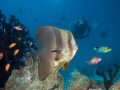 Batfish-Diver-Carpe-Vita-Explorer-Maldives-Explorer-Ventures-Liveaboard-Diving
