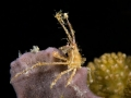 Crab-on-sponge-Carpe-Vita-Explorer-Maldives-Explorer-Ventures-Liveaboard-Diving