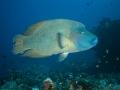 Humphead-Wrasse-Carpe-Vita-Explorer-Maldives-Explorer-Ventures-Liveaboard-Diving
