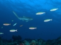 Leopard-Shark-Carpe-Vita-Explorer-Maldives-Explorer-Ventures-Liveaboard-Diving