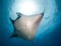Manta-Ray-Underside-Sunlight-Carpe-Vita-Explorer-Maldives-Explorer-Ventures-Liveaboard-Diving