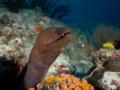 Moray-Carpe-Vita-Explorer-Maldives-Explorer-Ventures-Liveaboard-Diving