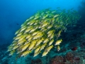 Ribbon-Sweetlips-School-Carpe-Vita-Explorer-Maldives-Explorer-Ventures-Liveaboard-Diving