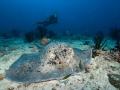 Round-Ribbontail-Ray-Diver-Carpe-Vita-Explorer-Maldives-Explorer-Ventures-Liveaboard-Diving