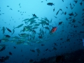 School-of-fish-Carpe-Vita-Explorer-Maldives-Explorer-Ventures-Liveaboard-Diving