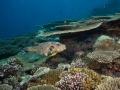 Scribbled-Pufferfish-Carpe-Vita-Explorer-Maldives-Explorer-Ventures-Liveaboard-Diving