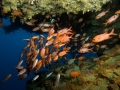 Soldierfish-Carpe-Vita-Explorer-Maldives-Explorer-Ventures-Liveaboard-Diving