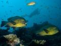 Two-Fish-Carpe-Vita-Explorer-Maldives-Explorer-Ventures-Liveaboard-Diving