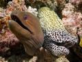 Two-Moray-Eels-Carpe-Vita-Explorer-Maldives-Explorer-Ventures-Liveaboard-Diving