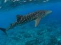 Whaleshark-Carpe-Vita-Explorer-Maldives-Explorer-Ventures-Liveaboard-Diving