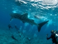 Whaleshark-Divers-Carpe-Vita-Explorer-Maldives-Explorer-Ventures-Liveaboard-Diving