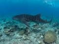 Whaleshark-Snorkelers-Carpe-Vita-Explorer-Maldives-Explorer-Ventures-Liveaboard-Diving