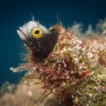 Blenny-Turks-and-Caicos-Explorer-2-Explorer-Ventures-Liveaboard-Diving