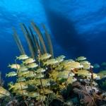 French-Grunt-Turks-and-Caicos-Explorer-2-Explorer-Ventures-Liveaboard-Diving