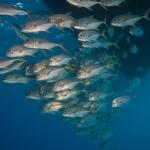 Horse-Eye-Jacks-Turks-and-Caicos-Explorer-2-Explorer-Ventures-Liveaboard-Diving