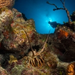 Lobster-Diver-Turks-and-Caicos-Explorer-2-Explorer-Ventures-Liveaboard-Diving