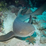 Nurse-shark-Turks-and-Caicos-Explorer-2-Explorer-Ventures-Liveaboard-Diving
