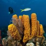 Sponges-Diver-Turks-and-Caicos-Explorer-2-Explorer-Ventures-Liveaboard-Diving