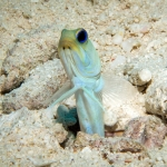 Yellowhead-Jawfish-Turks-and-Caicos-Explorer-2-Explorer-Ventures-Liveaboard-Diving