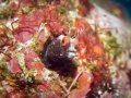 Blenny-Red-Eyes-Turks-and-Caicos-Explorer-2-Explorer-Ventures-Liveaboard-Diving