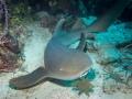 Nurse-shark-Turks-and-Caicos-Explorer-2-Explorer-Ventures-Liveaboard-Diving