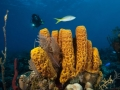 Sponges-Diver-Turks-and-Caicos-Explorer-2-Explorer-Ventures-Liveaboard-Diving