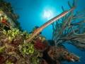 Trumpet-fish-Turks-and-Caicos-Explorer-2-Explorer-Ventures-Liveaboard-Diving