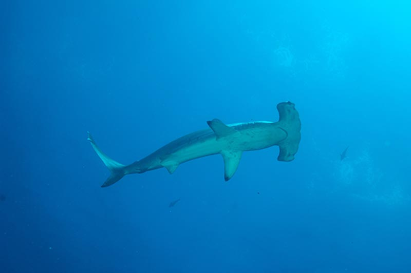Galapagos Island pictures | hammerhead