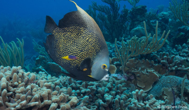 FA1186_SteveFrink French Angelfish