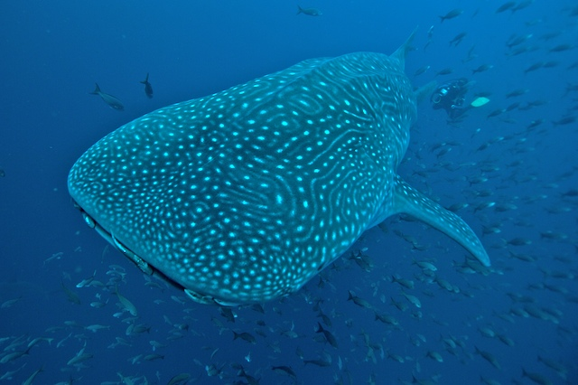 Whaleshark in the Galapagos Islands